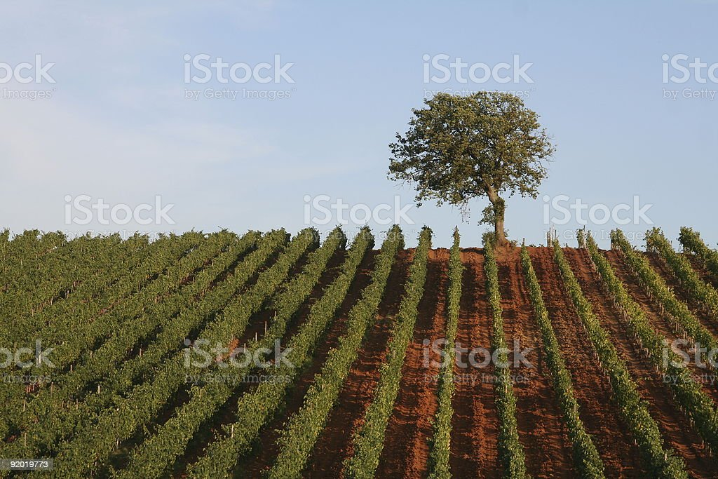 Single Tree at Vineyard in Tuscany royalty-free stock photo