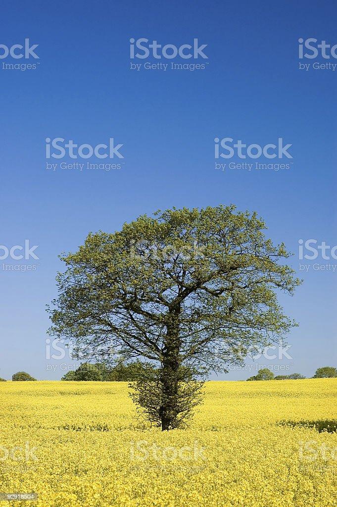 Single Tree in a Rape Field stock photo