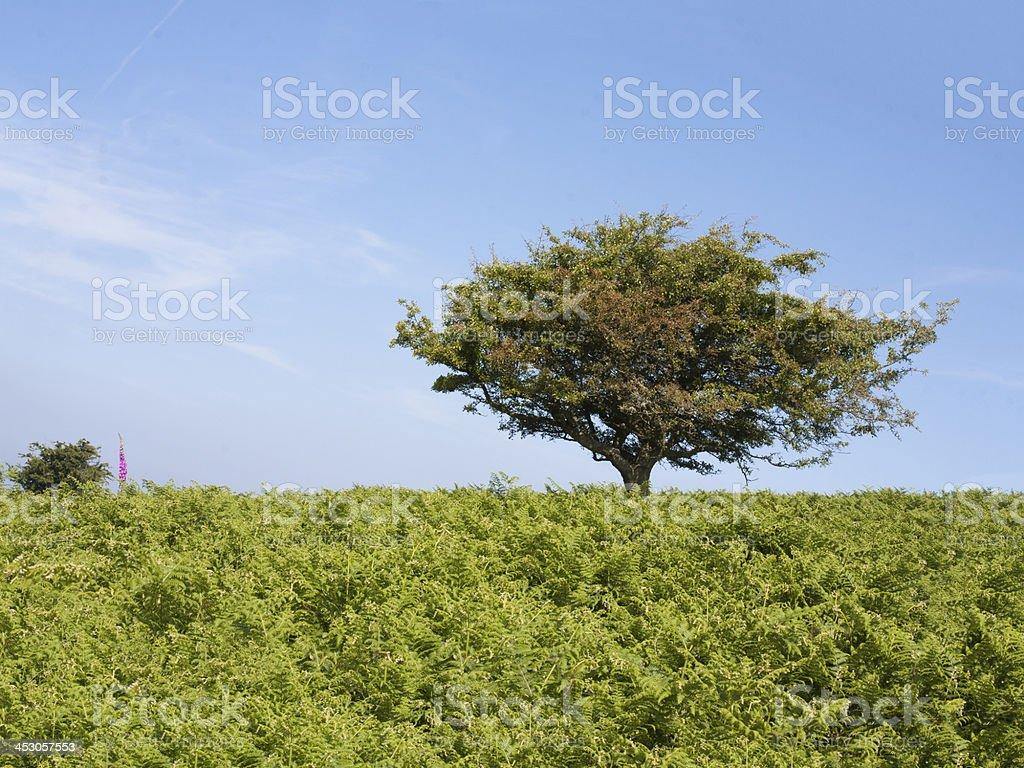 Single tree in field of fern stock photo