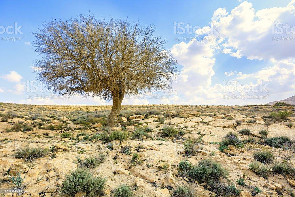 Single tree in stone desert royalty-free stock photo