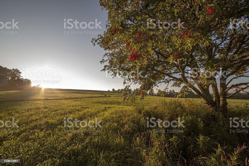 Single tree in the field on sunrise royalty-free stock photo