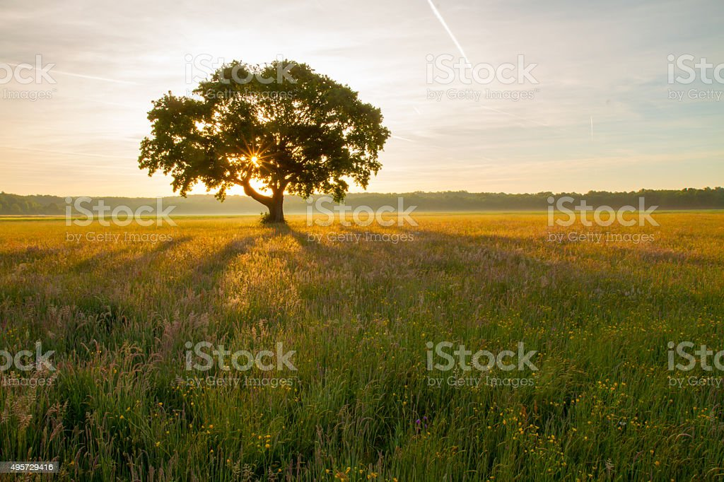 Single tree in the meadow at sunrise stock photo