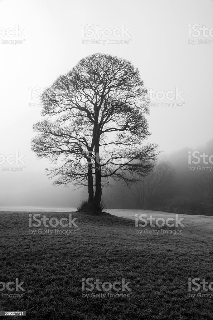 Single Tree In The Mist stock photo