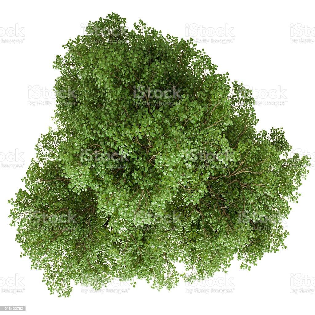 Single tree isolated on white background stock photo