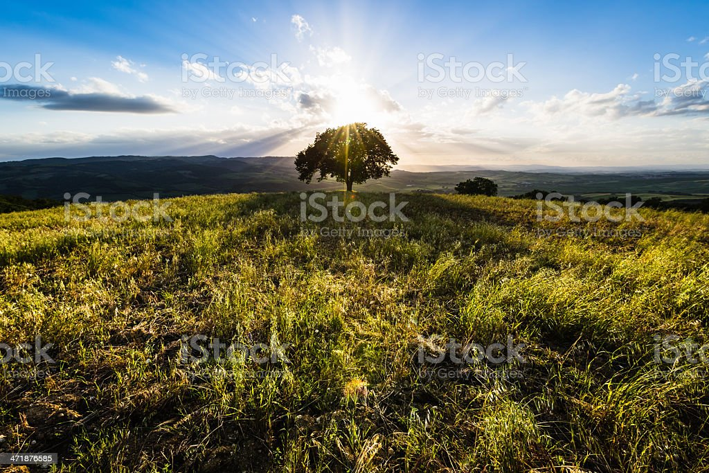 Single tree on the Tuscan hills royalty-free stock photo