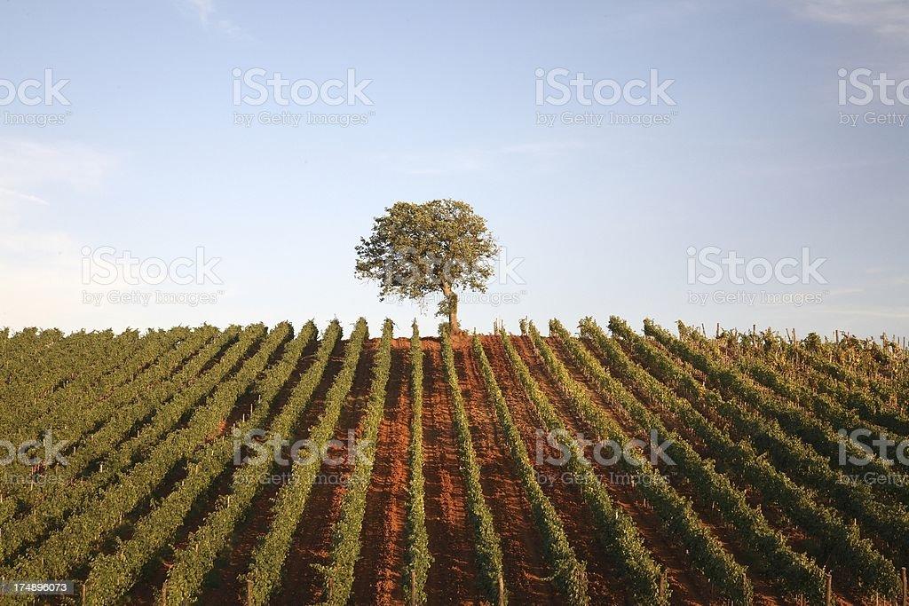 Single Tree on Vineyard stock photo