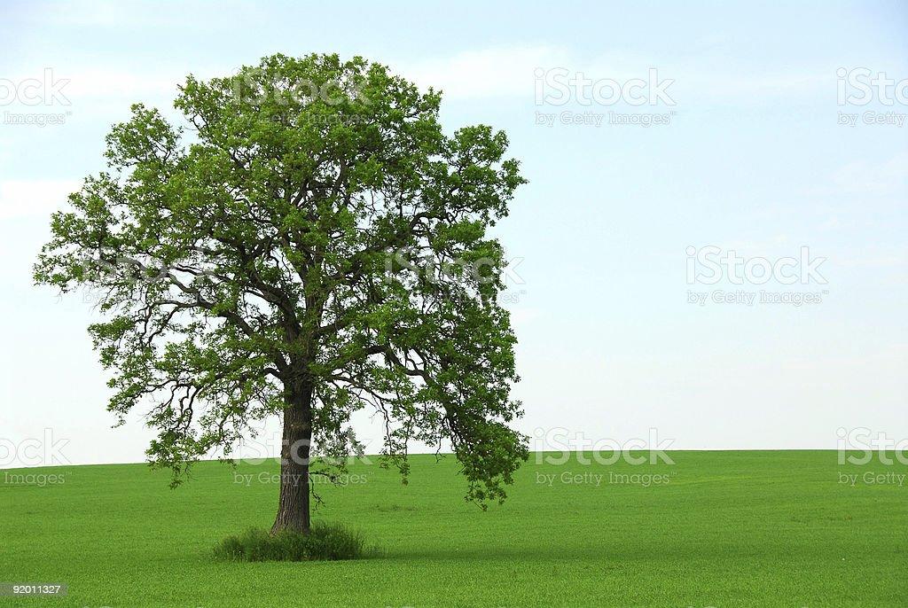 Single tree summer royalty-free stock photo