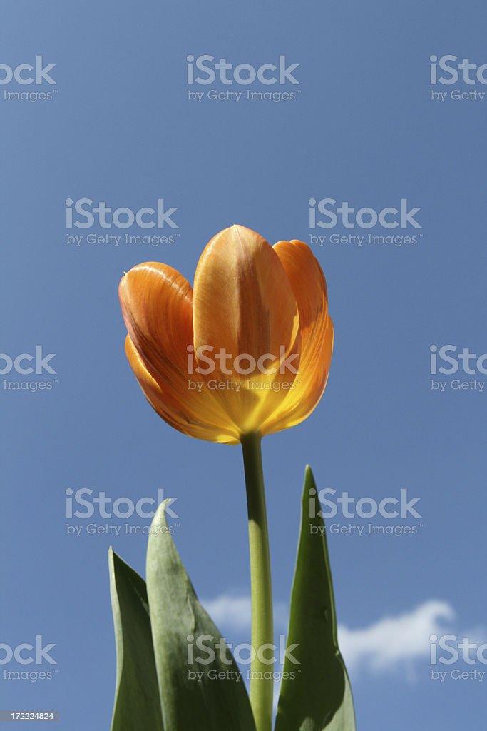 single tulip royalty-free stock photo