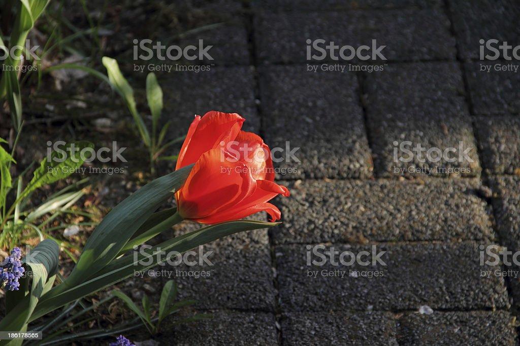 single tulip stock photo