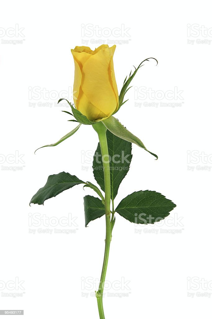 Single upright yellow rose and leaves isolated on white. stock photo