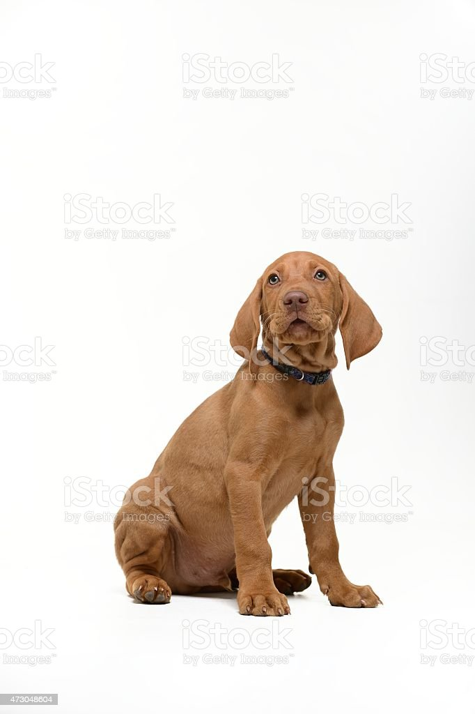 Single Vizsla puppy on white background looks up stock photo