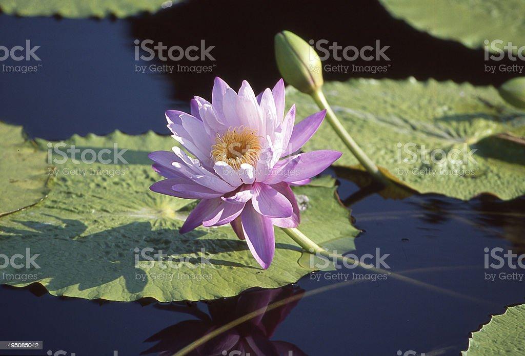 Single water lily flower aquatic plants in garden Winterthur Delaware stock photo