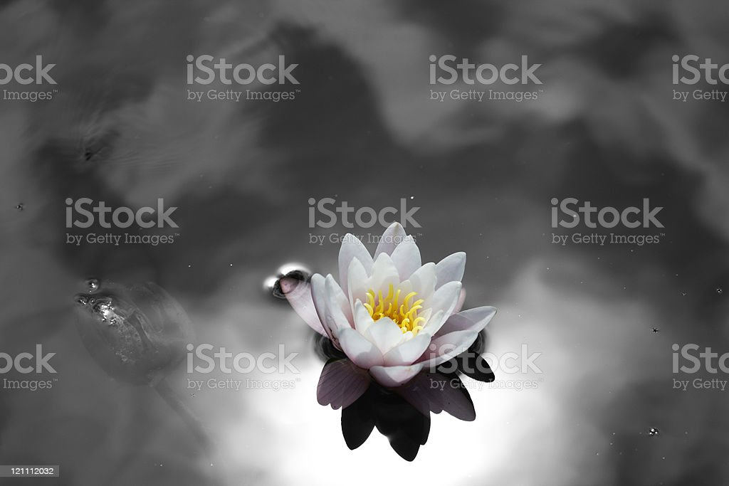 single water lily royalty-free stock photo