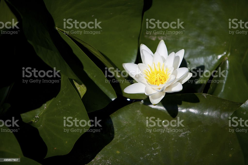 Single water lily stock photo