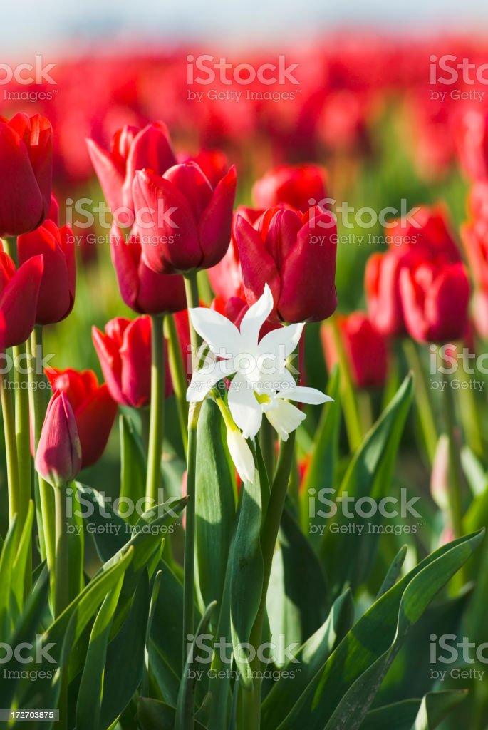 Single white daffodil stock photo