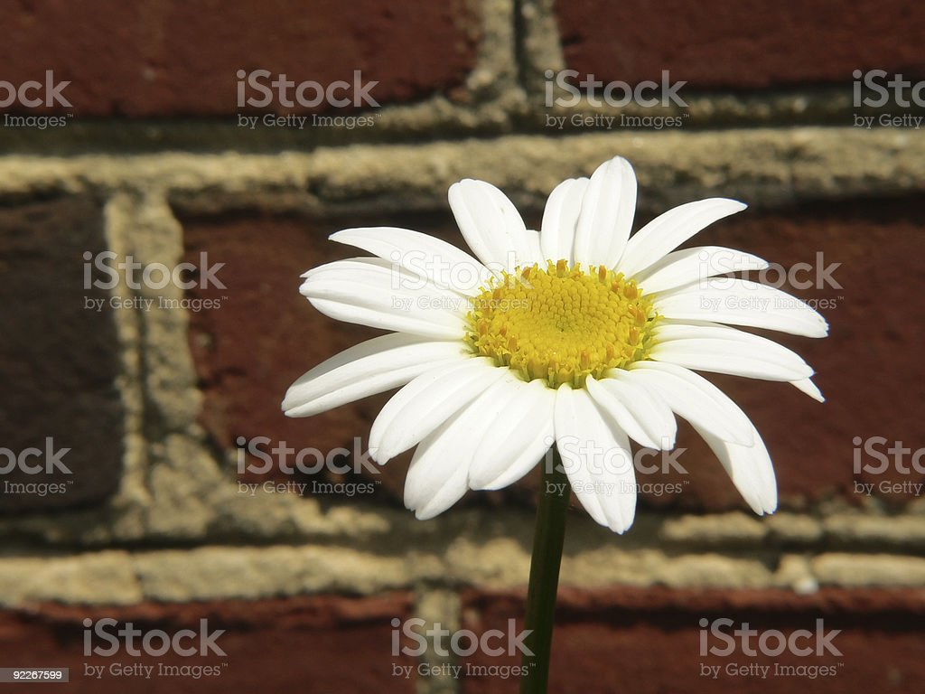 single white daisy against brick wall stock photo