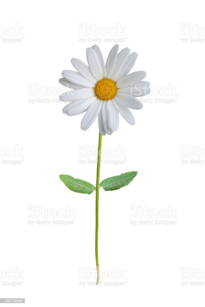A single white daisy on a white background stock photo