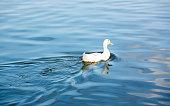 single white duck swinning on the blue water