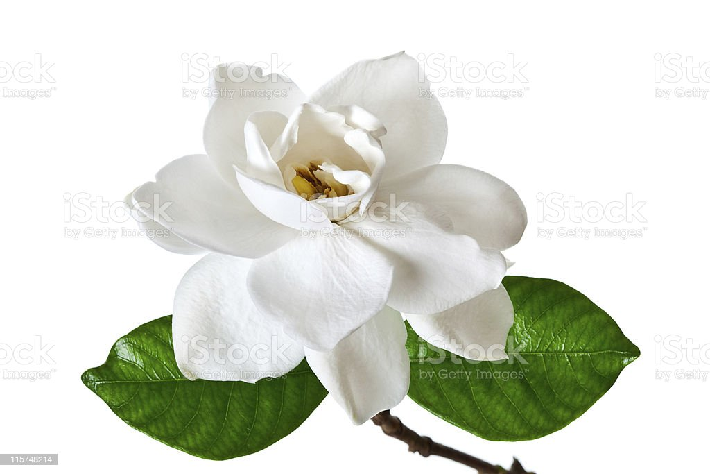 Single white gardenia blossom with green leaves stock photo