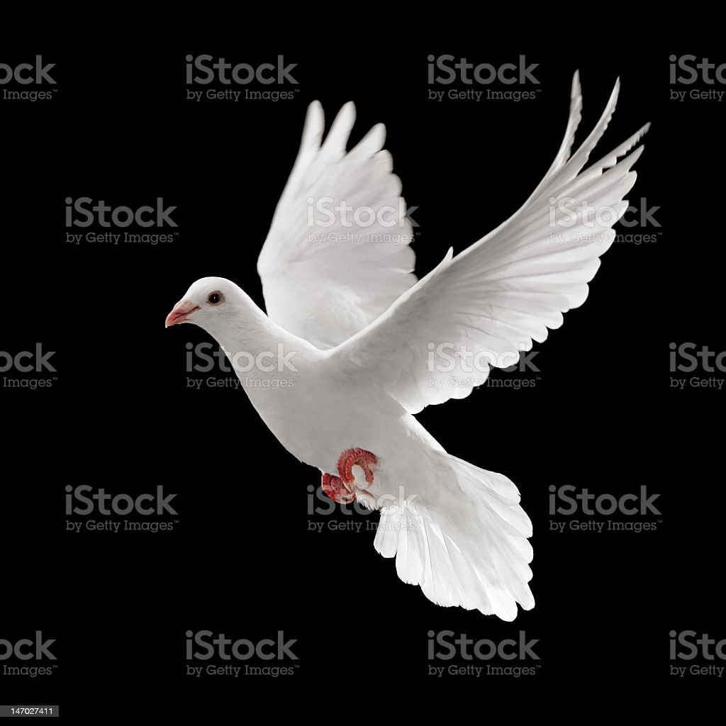A single white pigeon flying against a black background stock photo