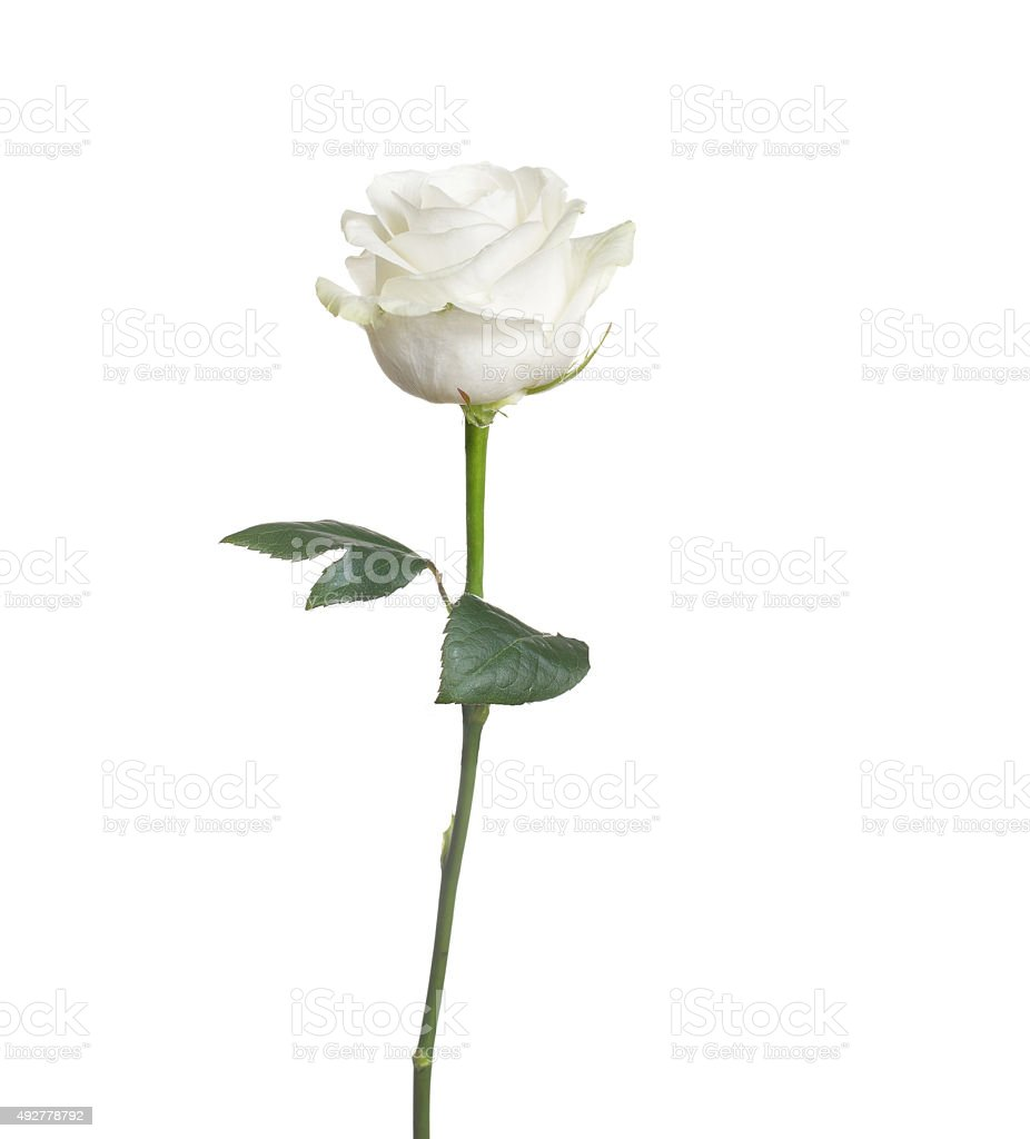 One White Rose Picture Of Single Whit...