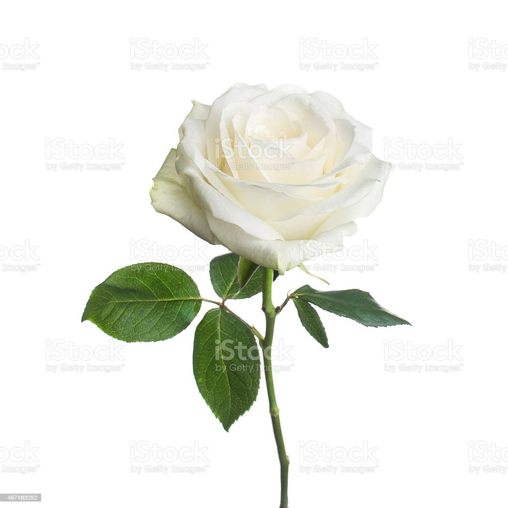 single white rose  isolated  background stock photo