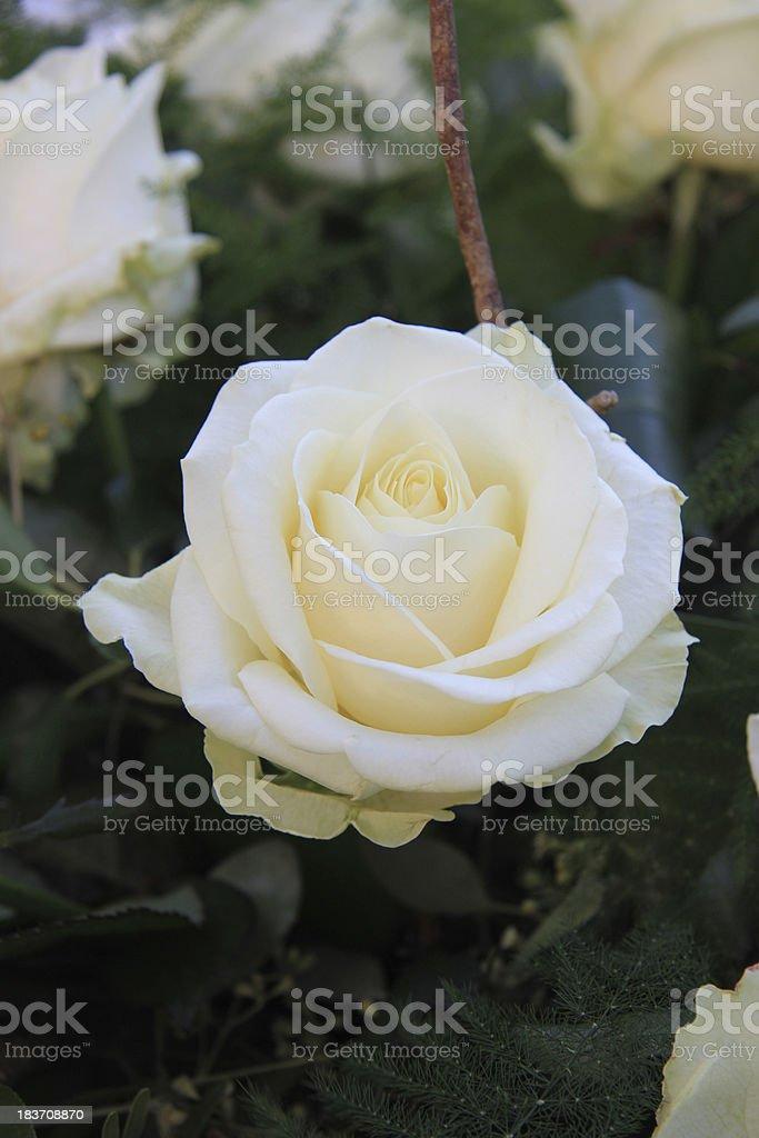 Single white rose royalty-free stock photo
