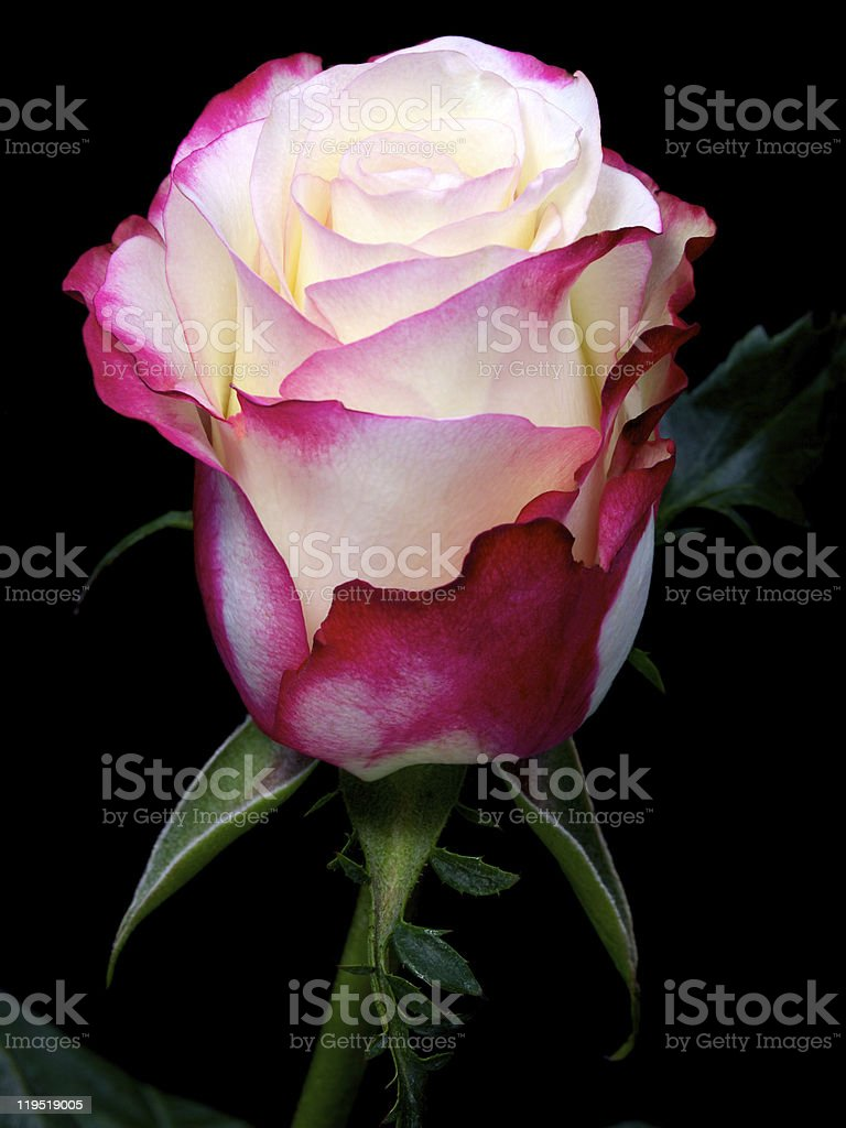 single white rose with red and pink borders on black royalty-free stock photo