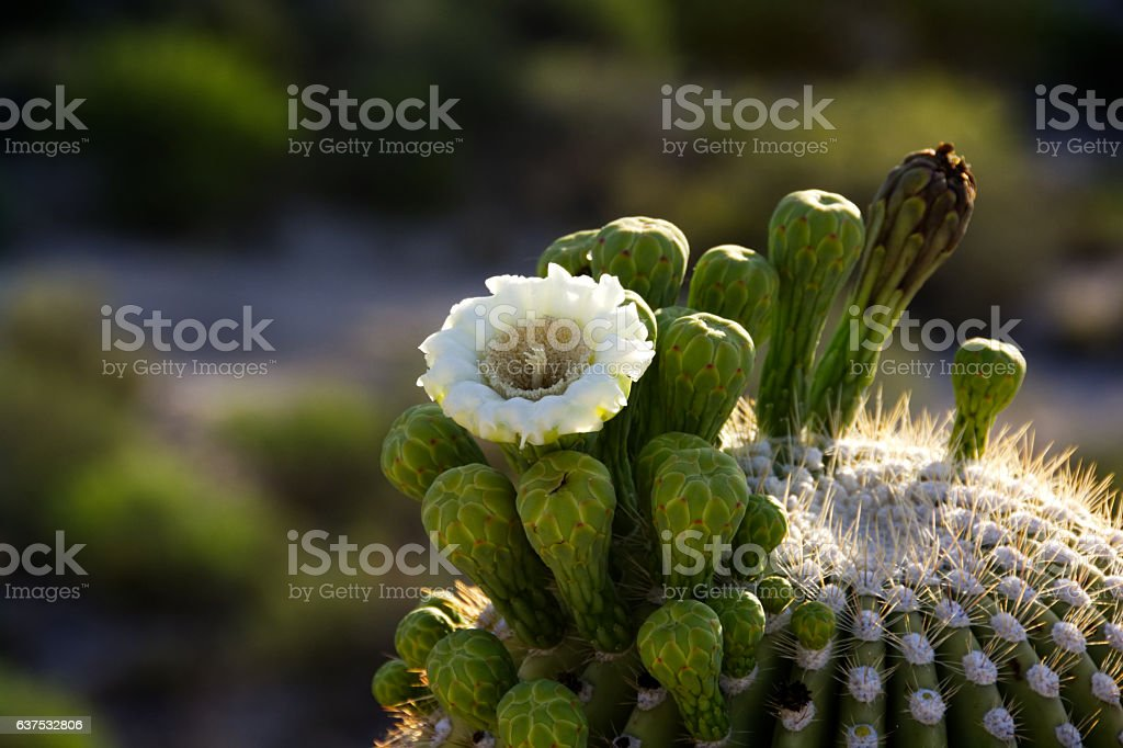 Single white saguaro blossom amid green buds and golden spines. stock photo