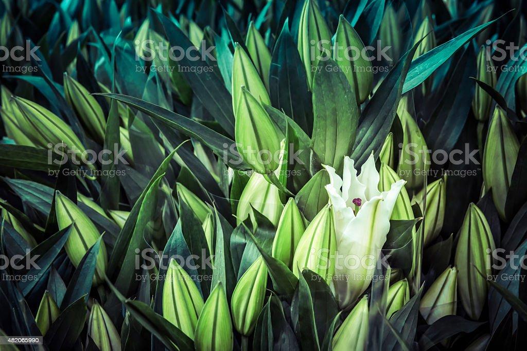 Single white stargazer lilly opening stock photo