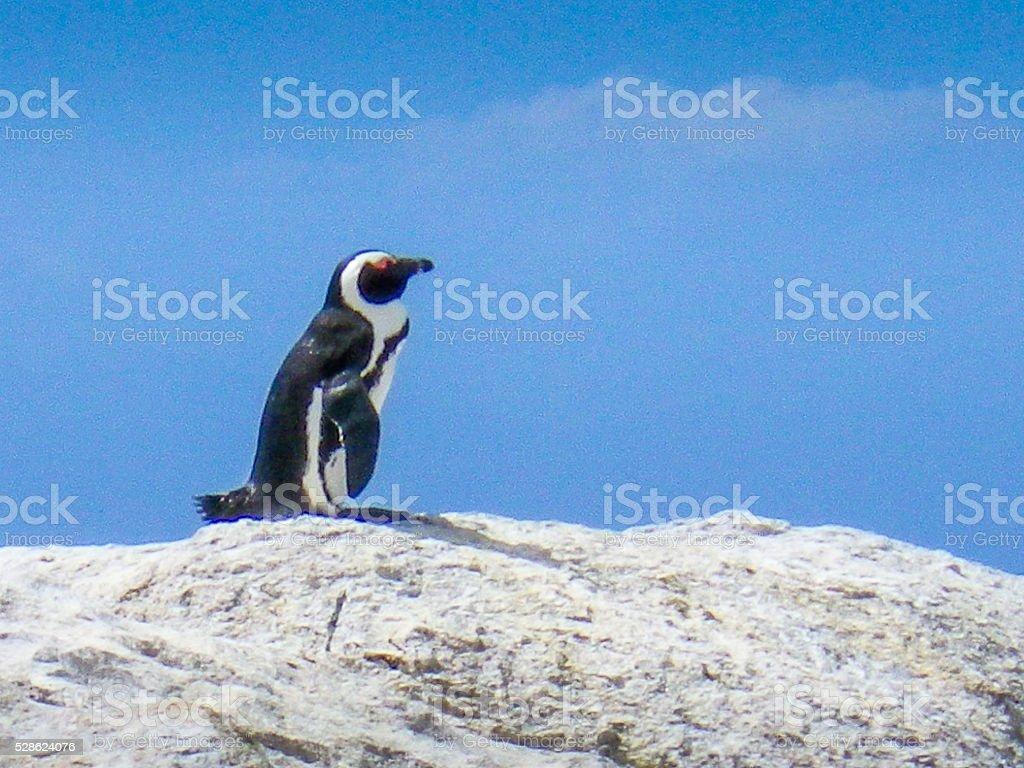 Single Wild African Penguin on Rock stock photo
