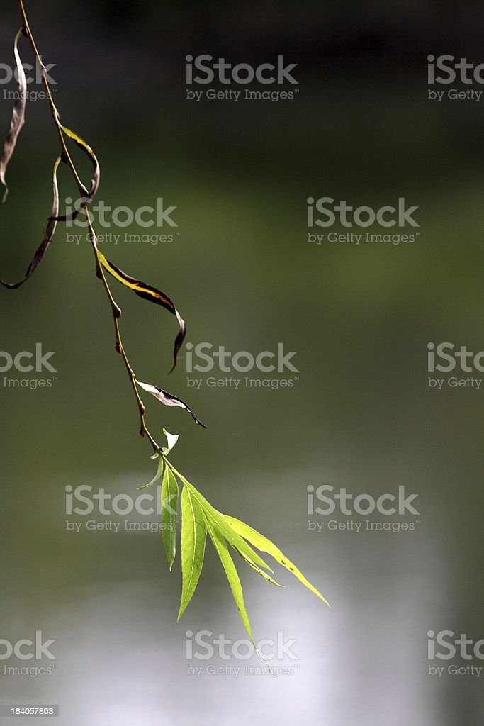 Single Willow leaf royalty-free stock photo
