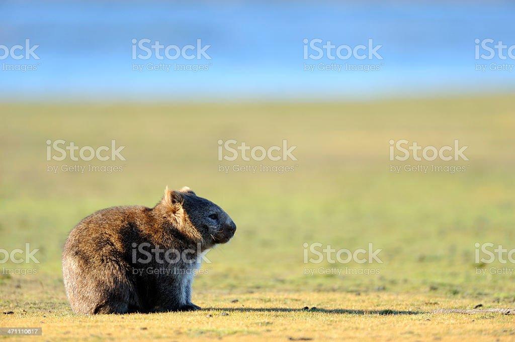 Single wombat sitting in the desert stock photo