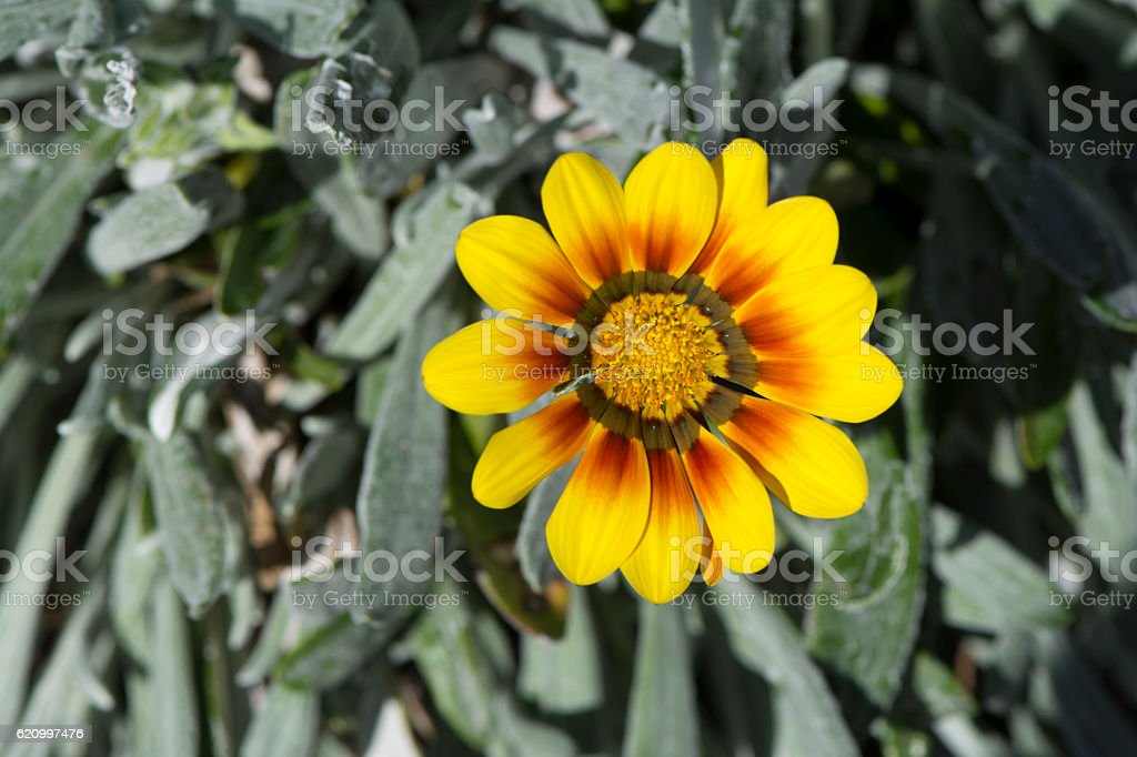 Single Yellow and Red Gazania stock photo