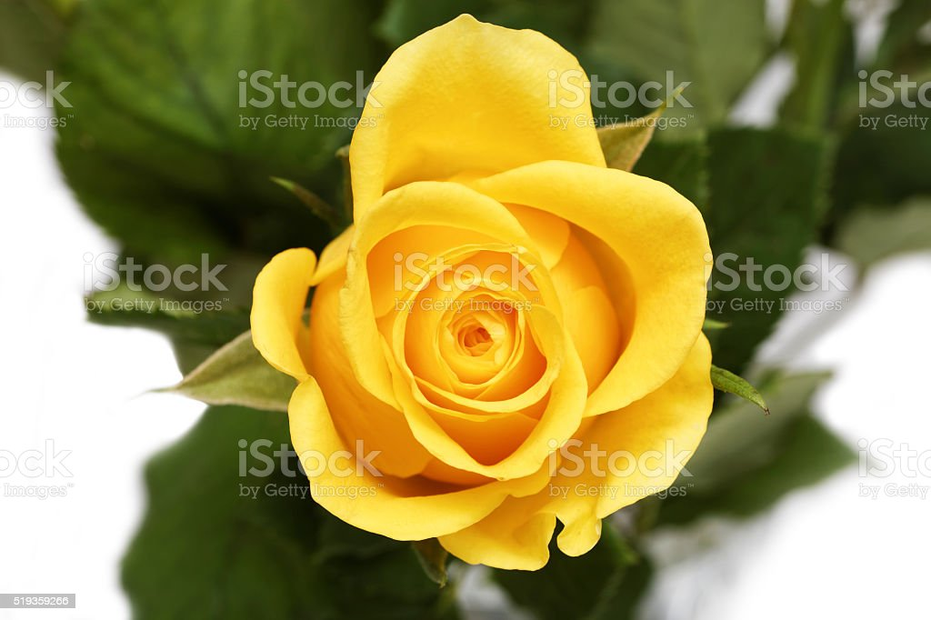 Single yellow button of rose. Top view. stock photo