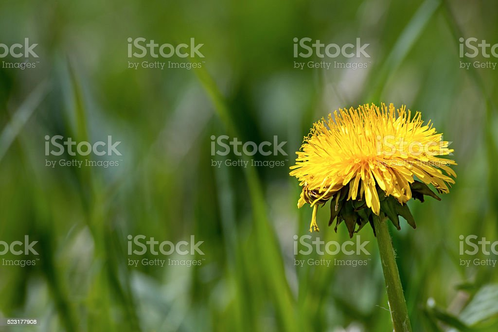 single yellow dandelion flower in green grass with copy space stock photo