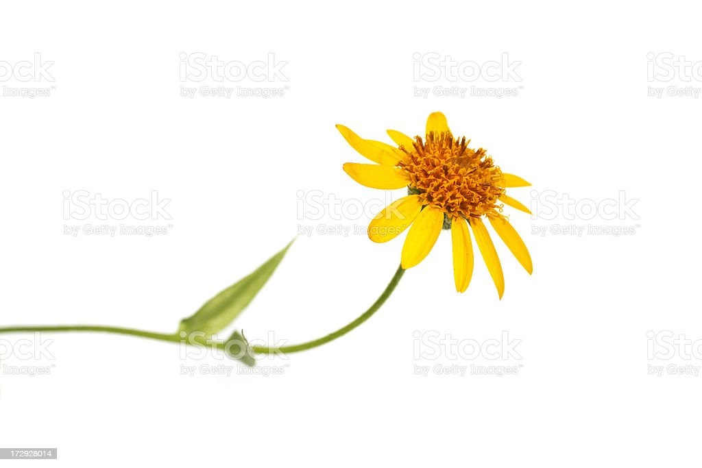 single yellow flower on white stock photo