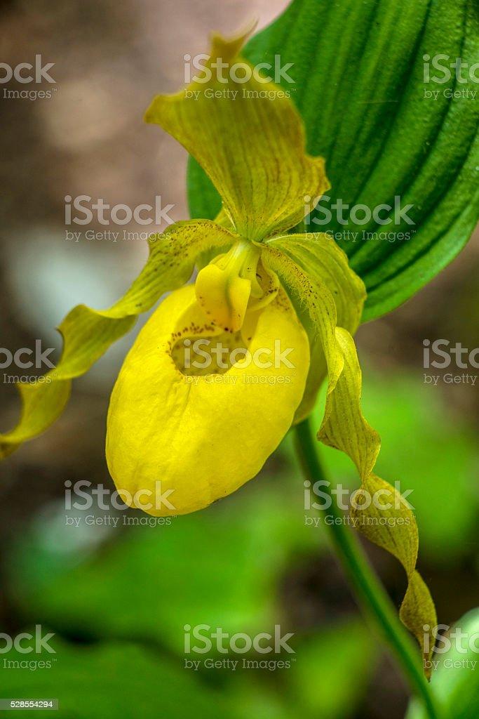Single Yellow Lady-Slipper in bloom. stock photo