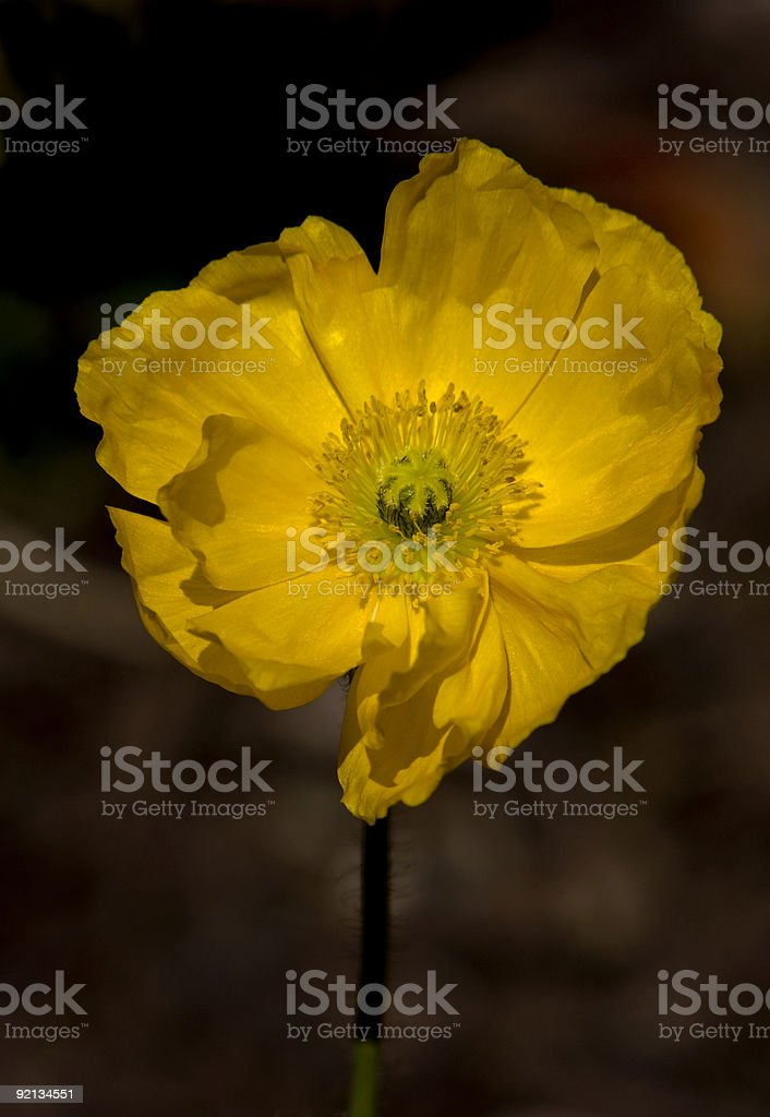 single yellow poppy royalty-free stock photo