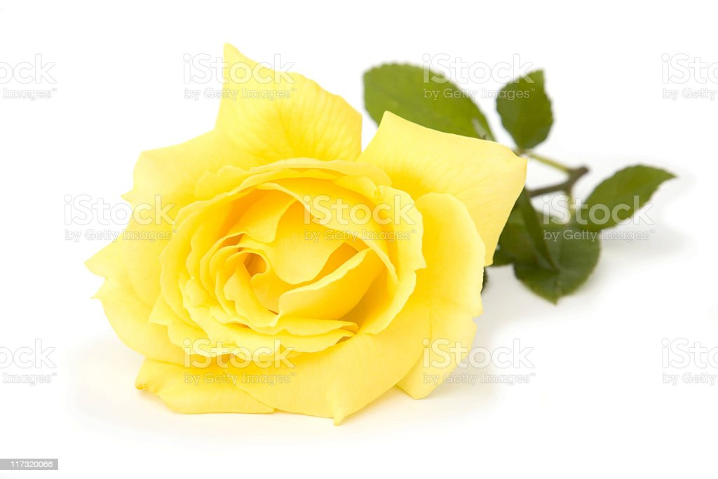 Single yellow rose on a white background royalty-free stock photo