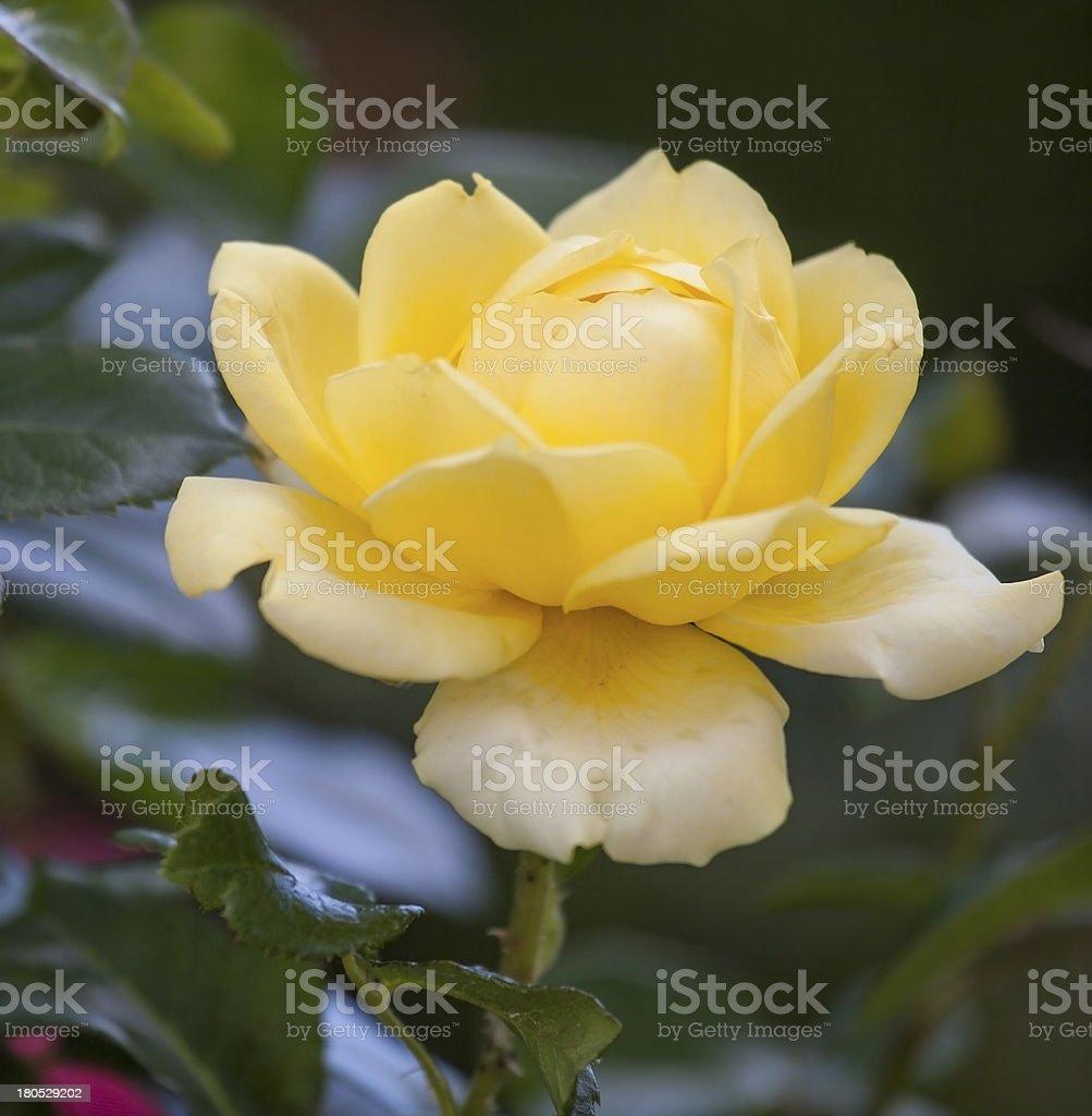 Single yellow rose. stock photo