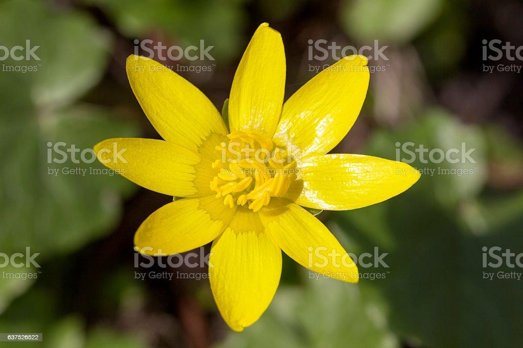 Single yellow  spring flower Anemone hepatica in the garden stock photo
