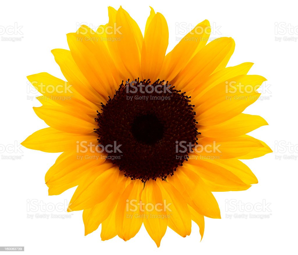 single sunflower pictures, images and stock photos  istock, Beautiful flower