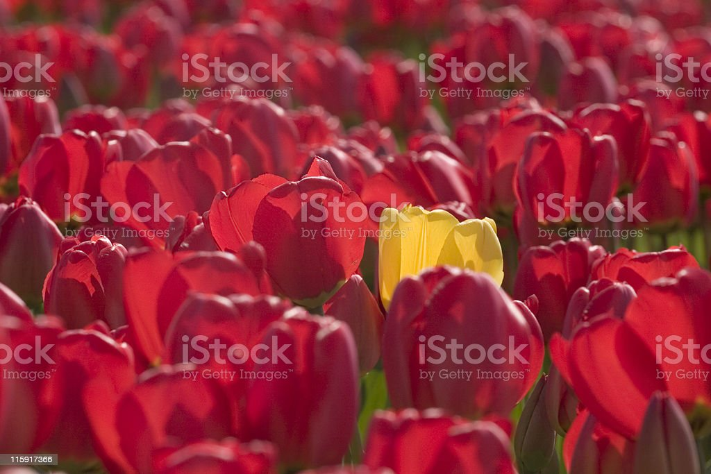 single yellow tulip in a field of colourful red tulips royalty-free stock photo