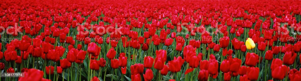 Single Yellow Tulip in Field of Red stock photo