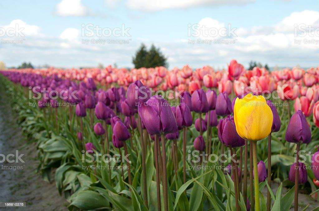 Single yellow tulip stock photo
