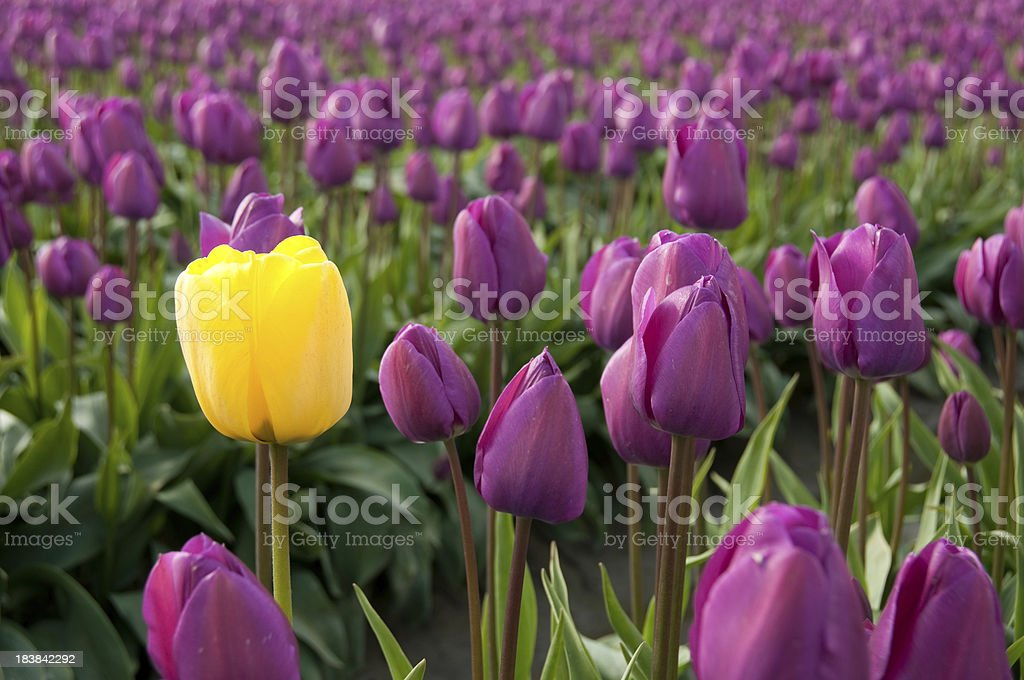 Single Yellow Tulip surrounded by Purple Tulips stock photo