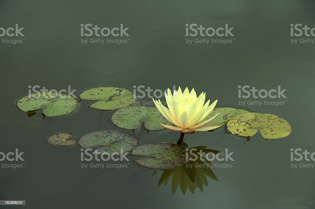 single yellow water lily royalty-free stock photo