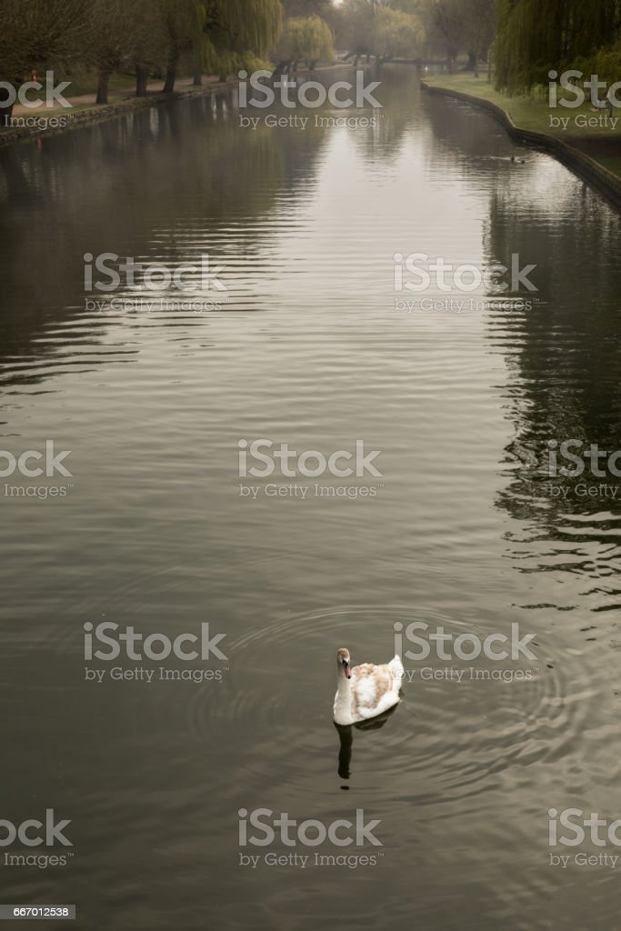 Single young mute swan on river Great Ouse in Bedford, England stock photo