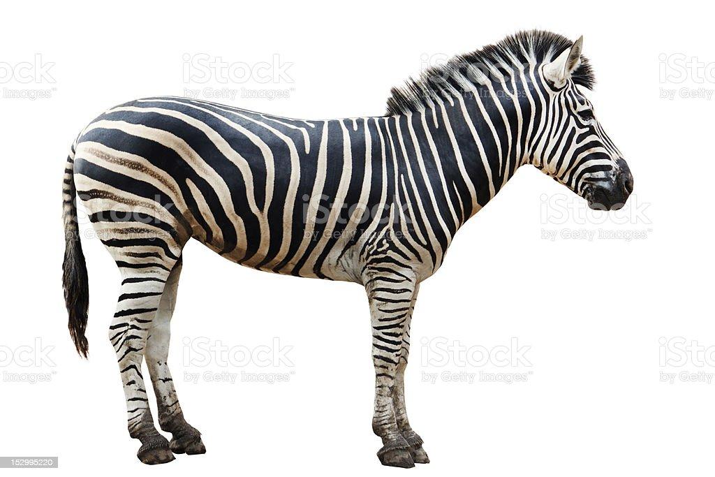 Single zebra isolated on white background stock photo